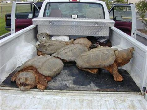 world record alligator snapping turtle