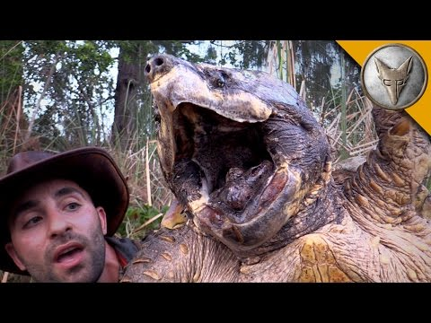 Care Sheet - Alligator Snapping Turtle