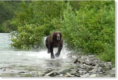 Animals getting more uppity? Seventh recent brown bear